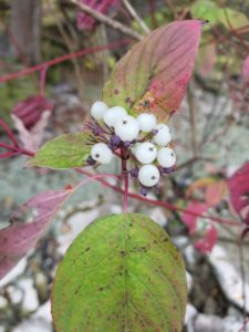 Red Osier Dogwood Berries, Varney Point, Lake Michigan, Door County, Newport State Park